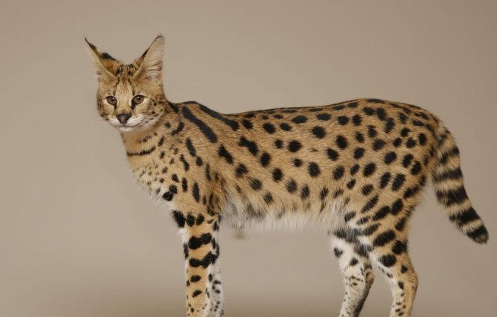 Гибрид домашней кошки и африканского сервала.