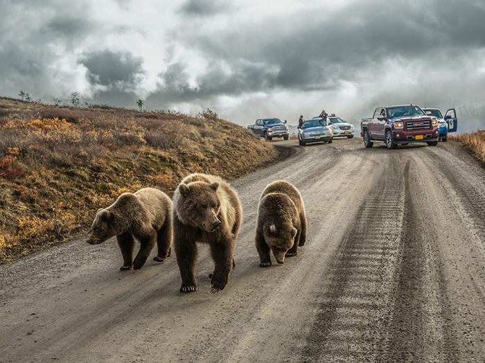 Медвежья пробка, автор фото — Aaron Huey.
