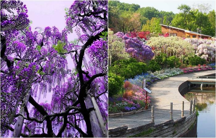 Ежегодный фестиваль цветущей глицинии Great Wisteria в Японии.