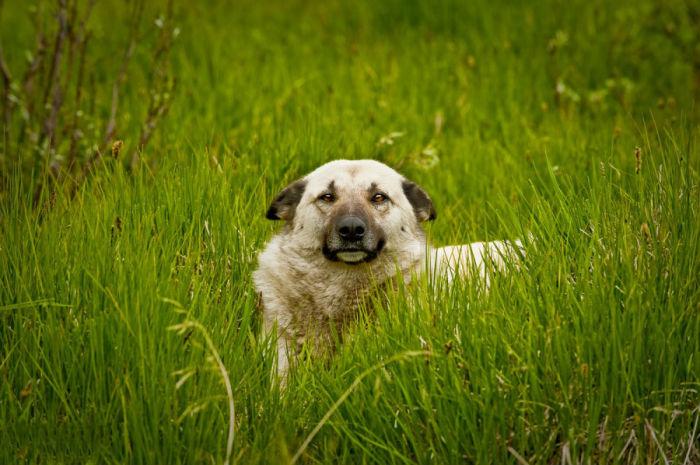 Незаменимый помощник казахских животноводов.