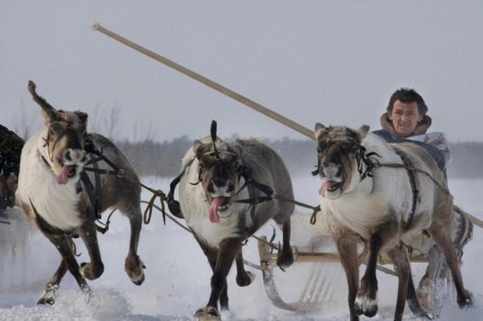 Гонки на оленьих упряжках - главное событие ежегодного праздника охотников и рыбаков в Ханты-Мансийском автономном округе.