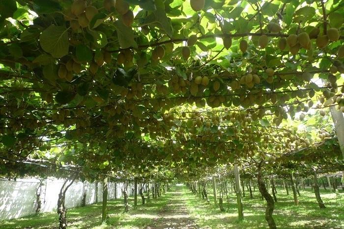 Небольшой фрукт, вес которого около 150 грамм.