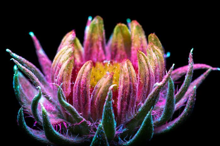 Ворсистое одеяние цветка переливается разными красками.
