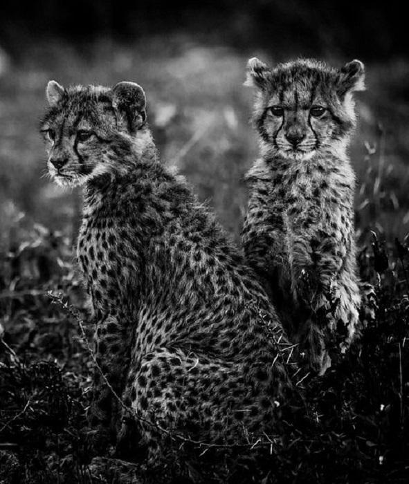 Детеныши гепарда семейства кошачьих.