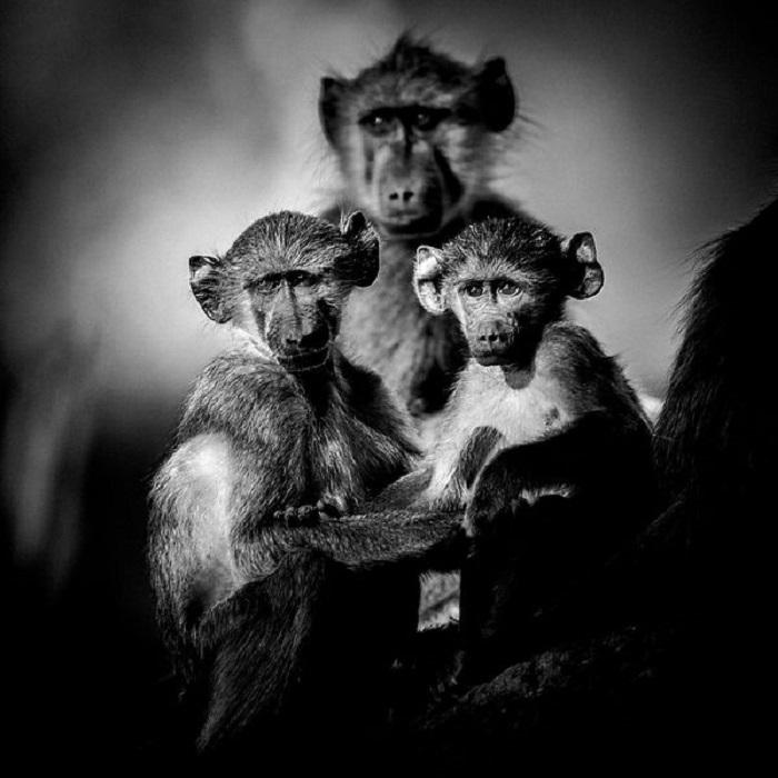 Воспитание детенышей имеет особое значение в мире обезьян.