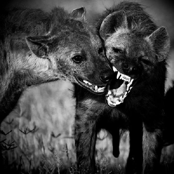Челюсти гиены – опасное оружие.