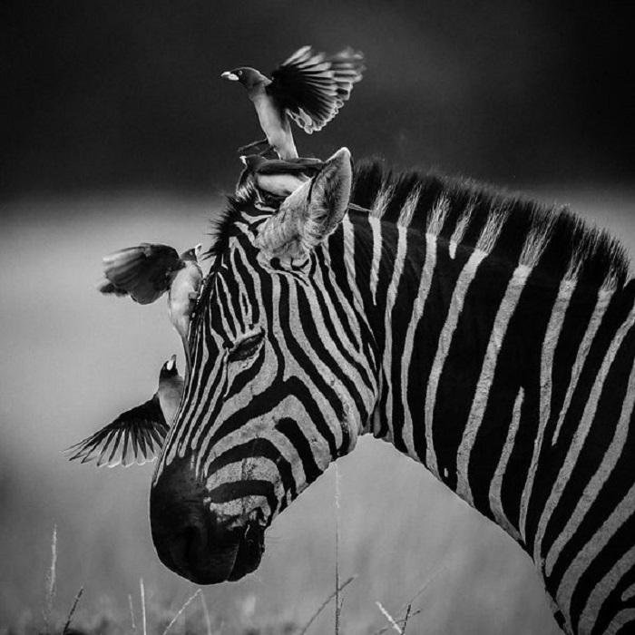 Зебры одни из немногих животных обладают цветным зрением.