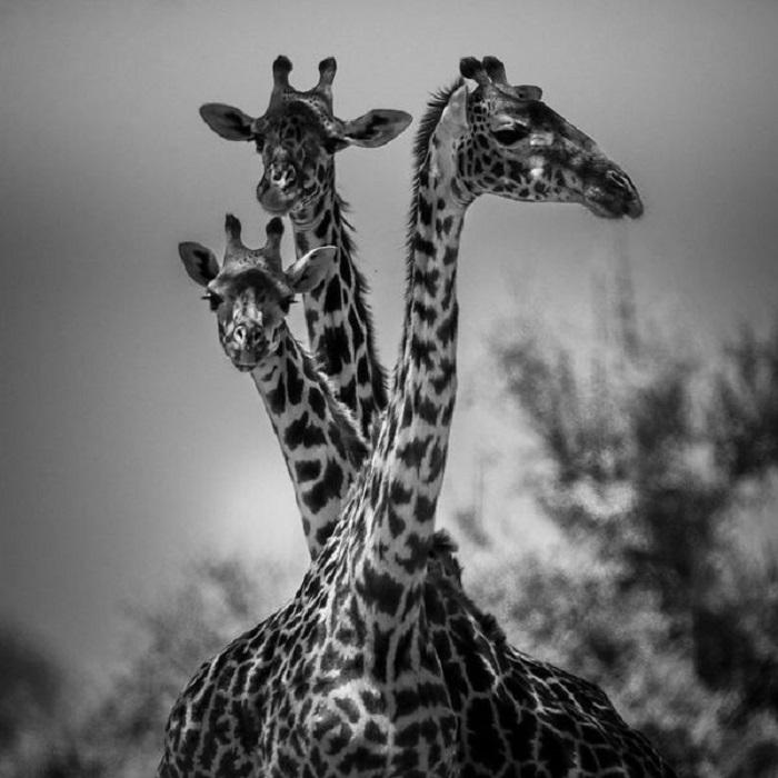 Жираф – самое высокое животное из всех живущих на Земле.