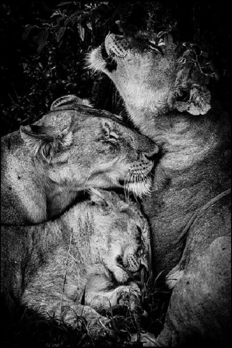 Во время отдыха львы общаются с помощью движений.