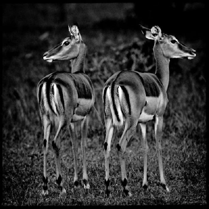 Восхитительные создания -  Импала или чернопятая антилопа.