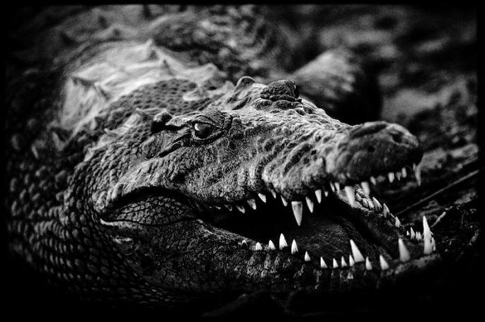 Устрашающая пасть  крокодила имеет зубы конусообразной формы, достигающие 5 см в длину.