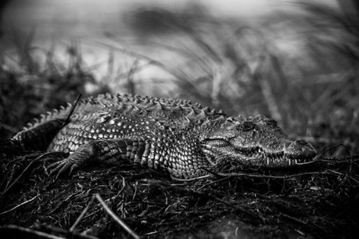 Крокодилы полуводные животные, на берег выходят рано утром для принятия солнечных ванн.