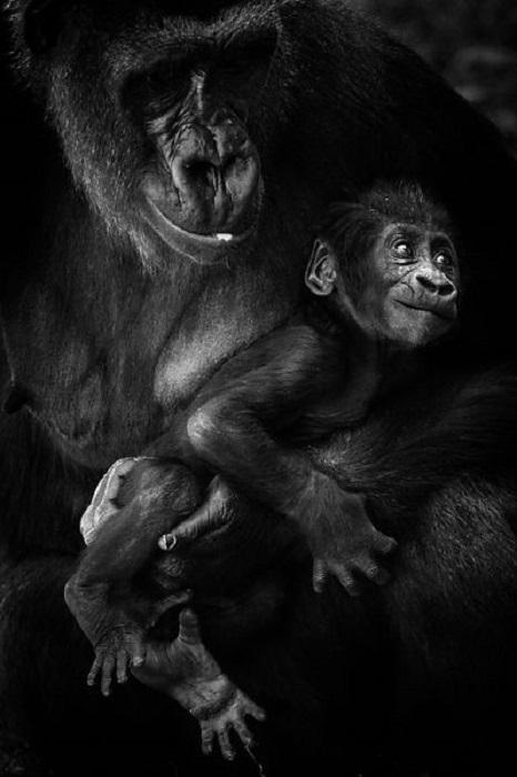 Самка гориллы проявляет трогательную заботу о своем потомстве.