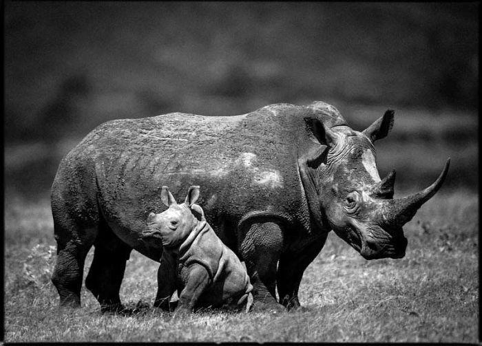 Детёныши носорогов живут со своими матерями до достижения 2—3-летнего возраста.