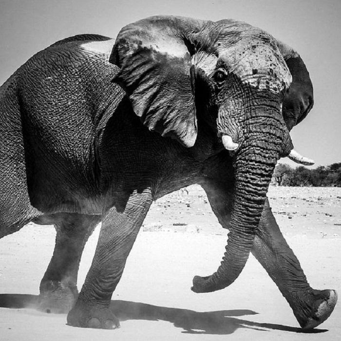 Дикий слон в Масаи-Мара.