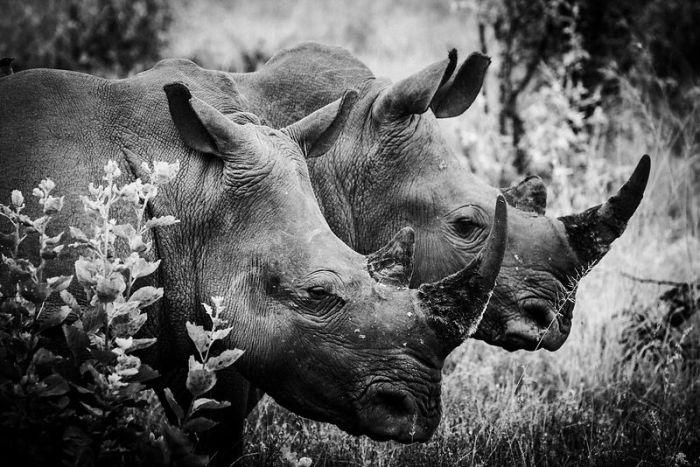 Носороги — крупные животные, названные так из-за своеобразных рогов, расположенных на конце морды.