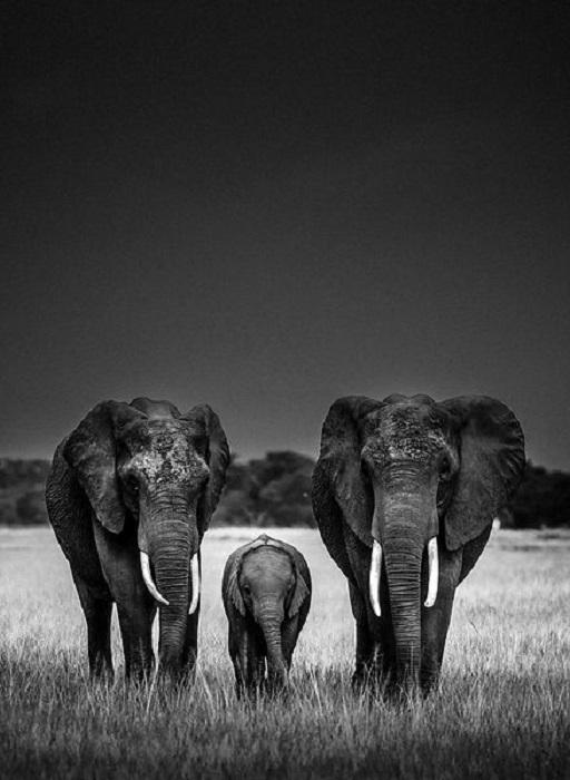Семья слонов на просторах Национального заповедника.