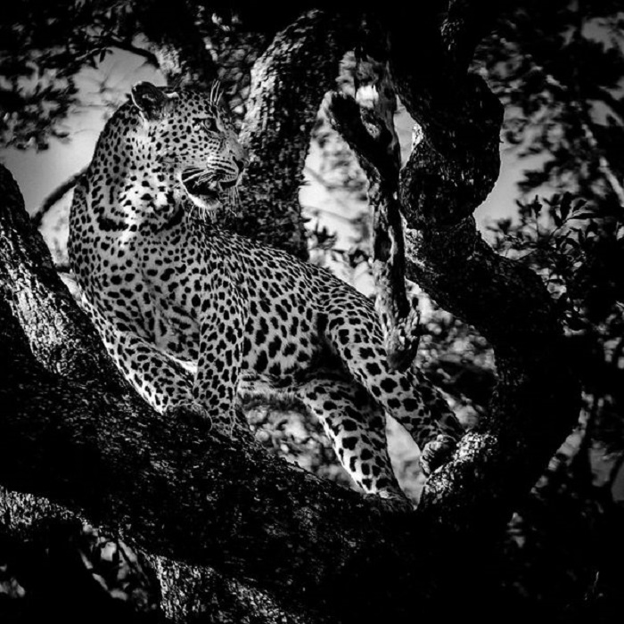Днем хищная кошка предпочитает отдыхать на дереве.