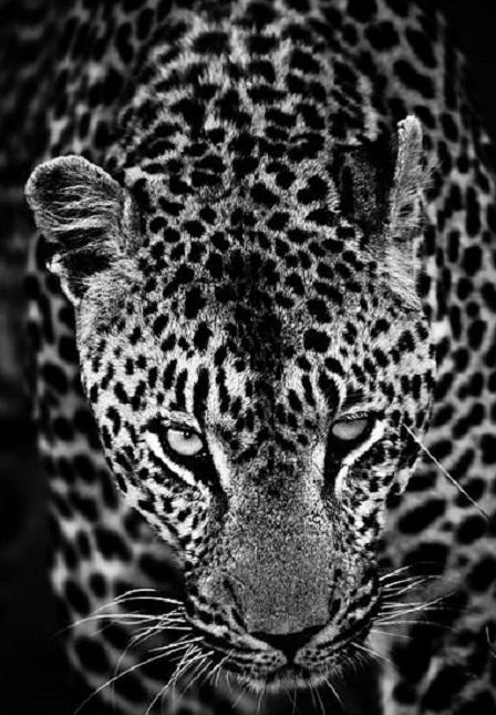 Острому зрению и тонкому слуху леопардов может позавидовать любое существо.
