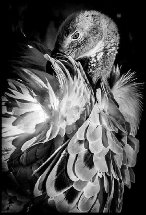Гриф славится самой свирепой из всех хищных птиц.