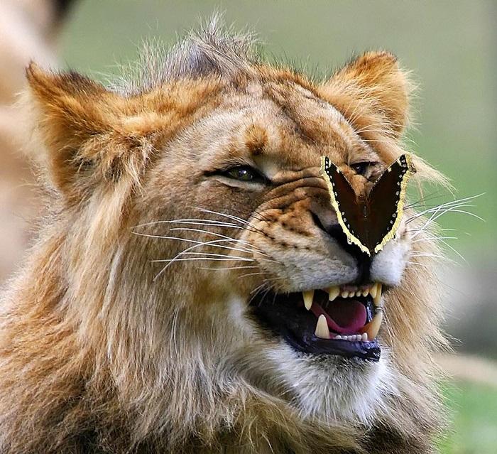 Шикарная улыбка льва.