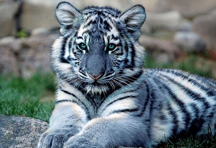 Самый редкий вид тигров в мире.
