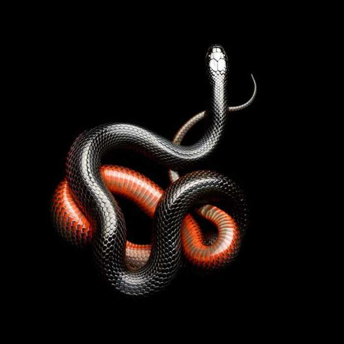 Бразильский уж получил широкую известность благодаря своей способности поедать ядовитых змей, особое предпочтение отдает гремучникам.