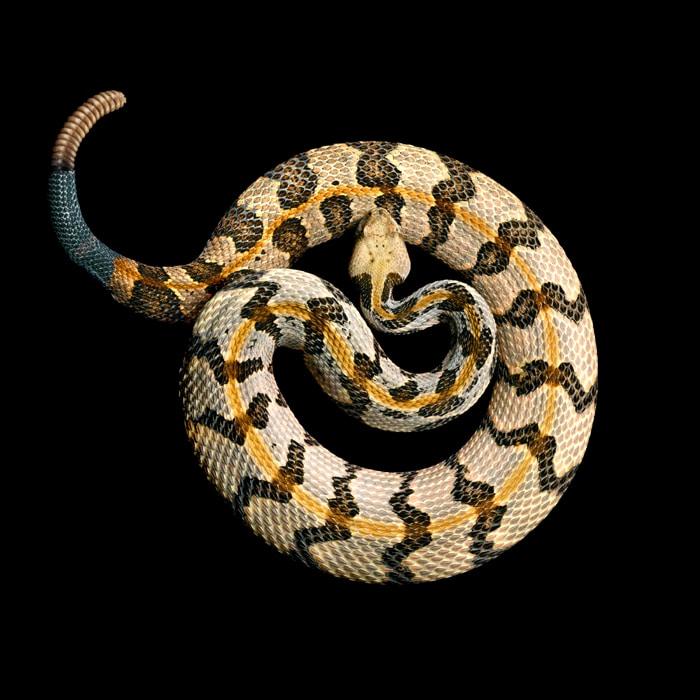 Опасная ядовитая змея из семейства гадюковых имеет красивую окраску желтовато-бурого цвета с четкими поперечными темно-коричневыми или черными пятнами, укус вызывает тяжелое отравление, которое в некоторых случаях является смертельным.