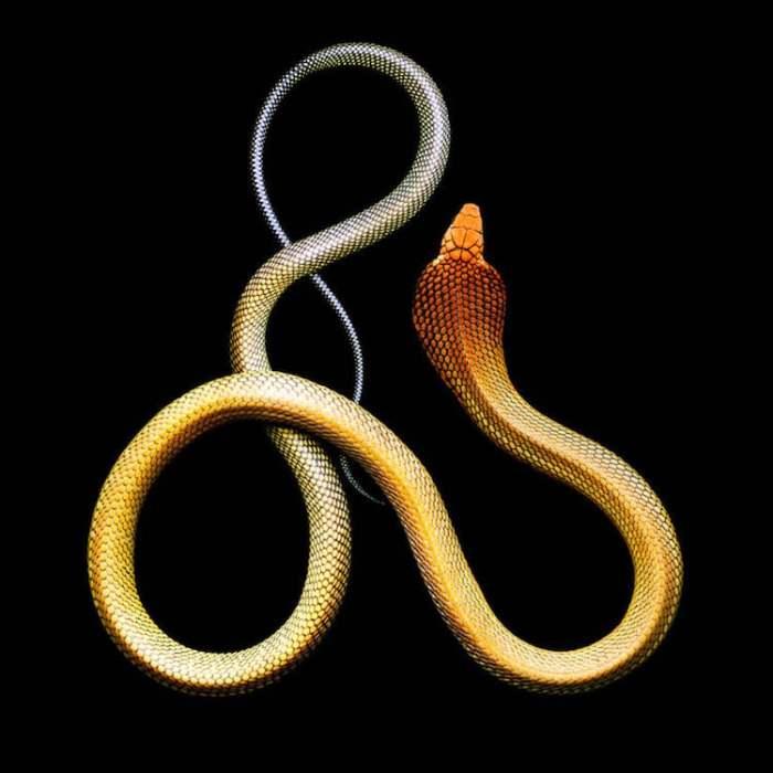 Крупнейшая ядовитая змея, размер которой варьируется от 3,5 до 6 метров, способна «рычать» и при опасности раздвигать грудные ребра так, что верхняя часть тела превращается в своеобразный капюшон.