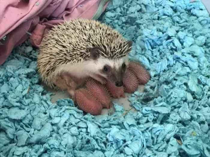 Маленькие колючие создания под защитой у собственной мамы.