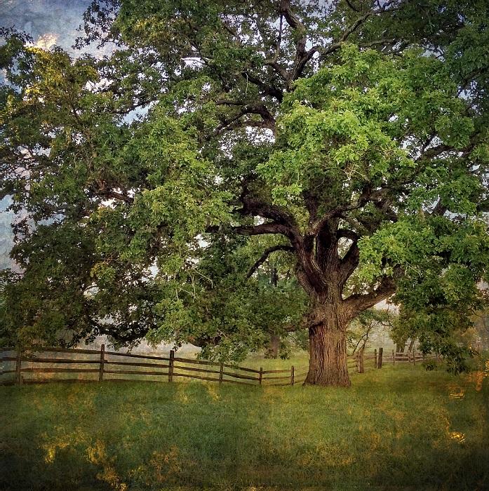 Многолетнее дерево величественно раскинувшее свои кроны на опушке леса. Фотограф Ларри Лефевра.