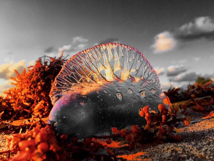 Один из наиболее распространенных видов физалий. Фотограф Энди Ройстон.