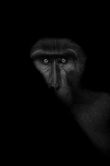 2-е место в категории «Дикая природа» присуждено канадскому фотографу Томасу Виджаяну (Thomas Vijayan), запечатлевшему портрет обезьяны.