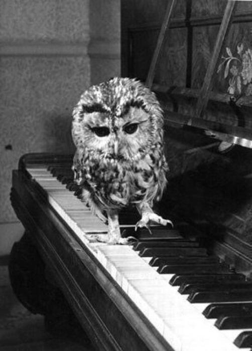 Сова играющая на пианино самые разные музыкальные произведения.