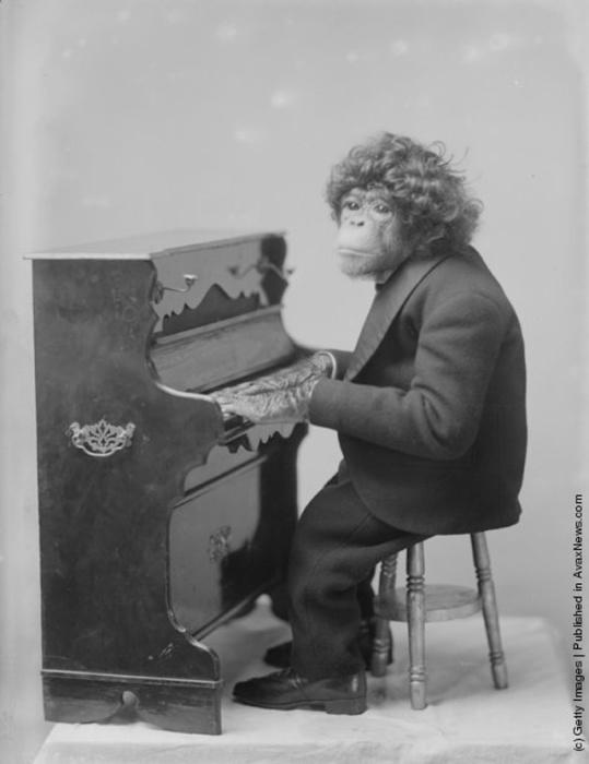 Цирковой шимпанзе во время выступления за фортепиано, 1900 год.