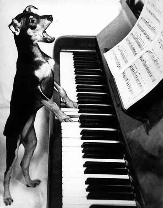 Пёс играет небольшую и незатейливую пьесу.