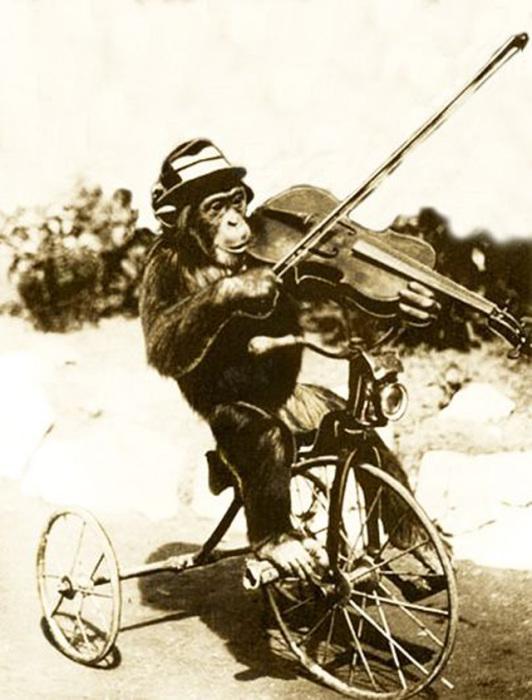 Умелый цирковой шимпанзе катается на велосипеде и играет на скрипке.