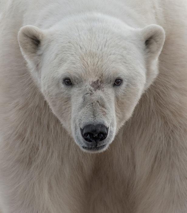 Полярный медведь на Шпицбергене. Фотограф: Ari Ross.