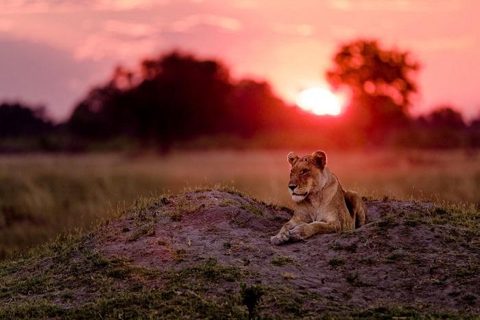 Отдых львицы, Ботсвана, Африка. Фотограф: Marja Schwartz.