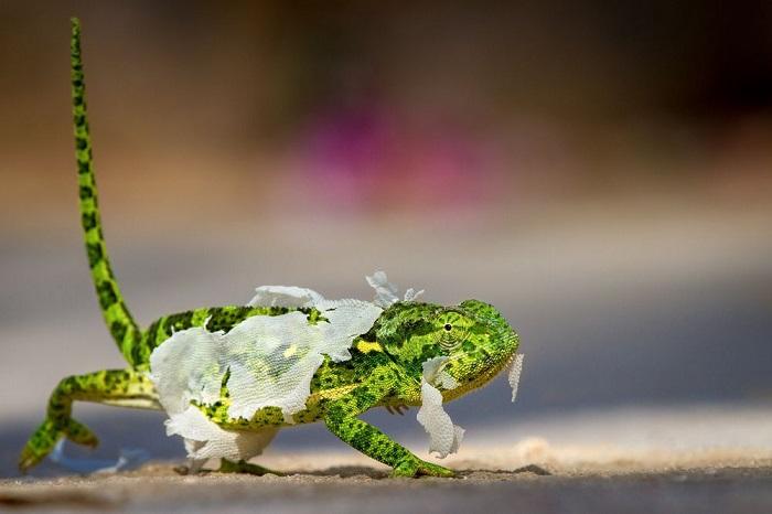 Номинация «Дикая природа/ Выбор аудитории» - фотограф Майк Декстер (Mike Dexter) из ЮАР, запечатлевший бесстрашного хамелеона во время линьки.