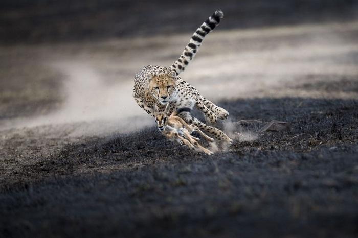 Категория «Дикая природа/ Выбор аудитории» - канадский фотограф Томас Виджаян (Thomas Vijayan), заснявший опасную игру гепарда с маленьким детенышем газели.
