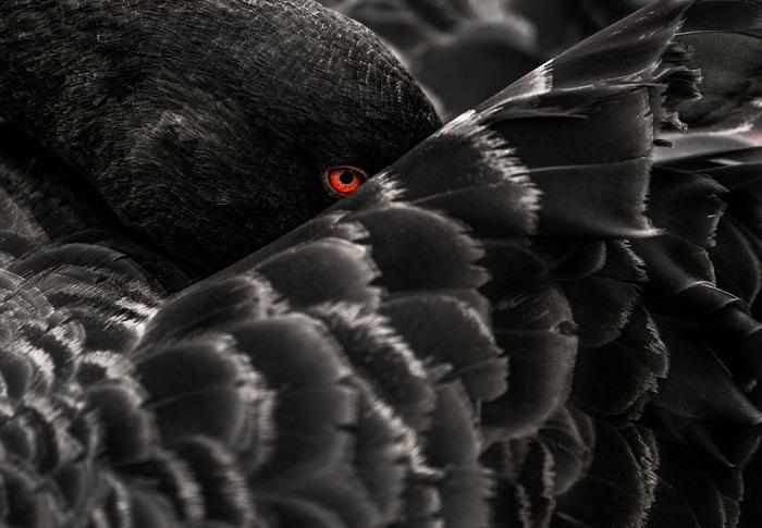 Категория: «Дикая природа». Автор снимка – фотограф Иштван Ладаньи (Istvan Ladanyi) из Германии, заснявший отдыхающего черного лебедя с рубиновым глазом.