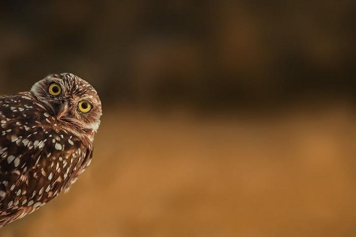 Категория: «Дикая природа». Автор снимка с любопытной земляной совой – фотограф Маркус Хеннен (Marcus Hennen) из Германии.