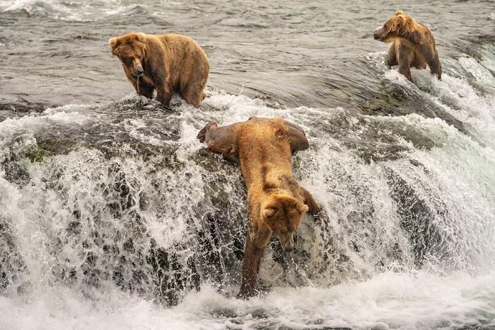 Категория: «Дикая природа». Автор снимка с бурыми медведями на рыбалке – американский фотограф Тейлор Томас Олбрайт (Taylor Thomas Albright).