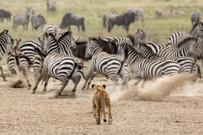 Категория: «Дикая природа». Автор снимка с развлекавшимся львенком в заповеднике «Серенгети» – американский фотограф Клаус Майер (Klaus Mayer).