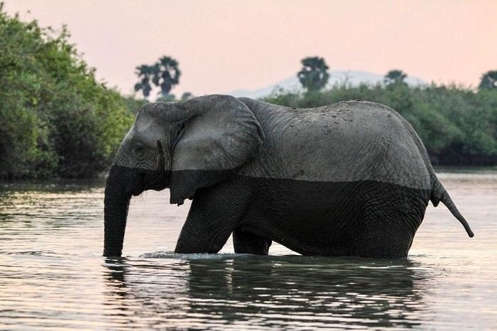 Категория: «Дикая природа». Автор снимка – американский фотограф Кэмерон Блэк (Cameron Black), запечатлевший слона на переправе через реку с крокодилами.