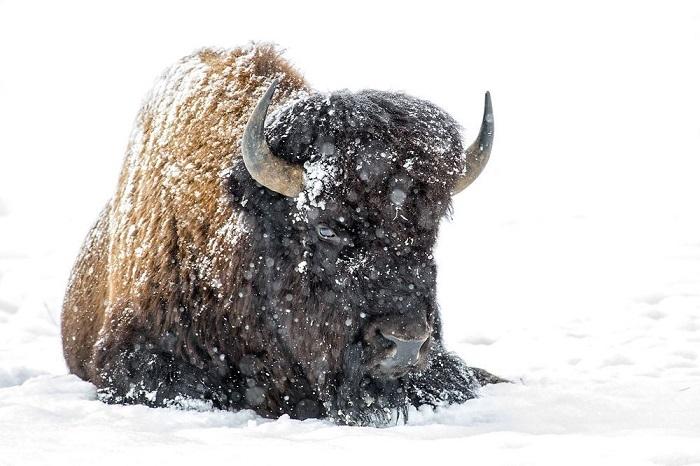 Категория: «Дикая природа». Автор снимка с одиноким бизоном, отдыхающим на снегу, – американский фотограф Соня Лэнг (Sonya Lang).