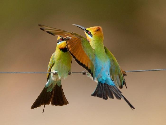 Категория: «Дикая природа». Автор снимка с забавными радужными щурками – австралийский фотограф Леа Скаддан (Lea Scaddan).