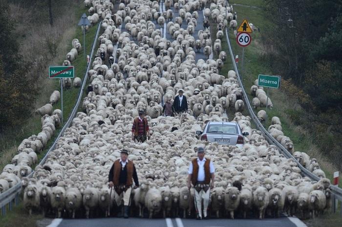 Категория: «Люди». Автор снимка – польский фотограф Бартломей Юрецкий (Bartlomiej Jurecki), запечатлевший традиционный выгон стада овец.
