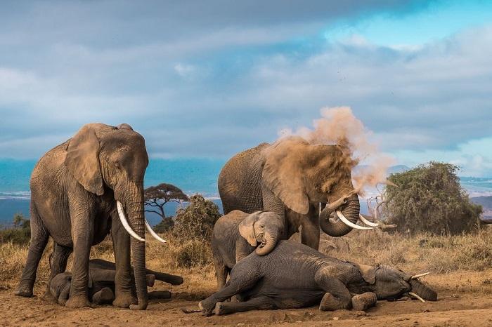 Категория: «Дикая природа». Автор снимка со слонами, принимающими пылевую ванну, - индийский фотограф Нилеш шах (Nilesh Shah).